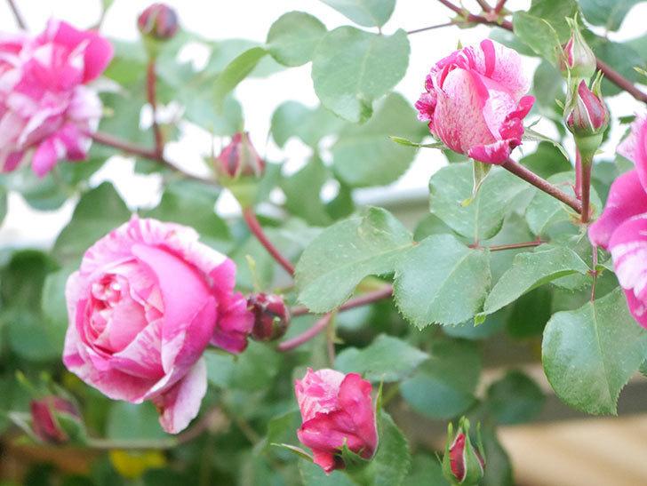 フランボワーズ バニーユ(Framboise Vanille)の花が咲いた。2021年-039.jpg