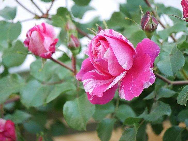 フランボワーズ バニーユ(Framboise Vanille)の花が咲いた。2021年-041.jpg