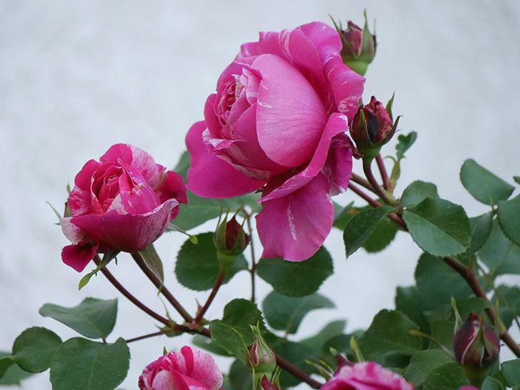 フランボワーズ バニーユ(Framboise Vanille)の花が咲いた。2021年-043.jpg