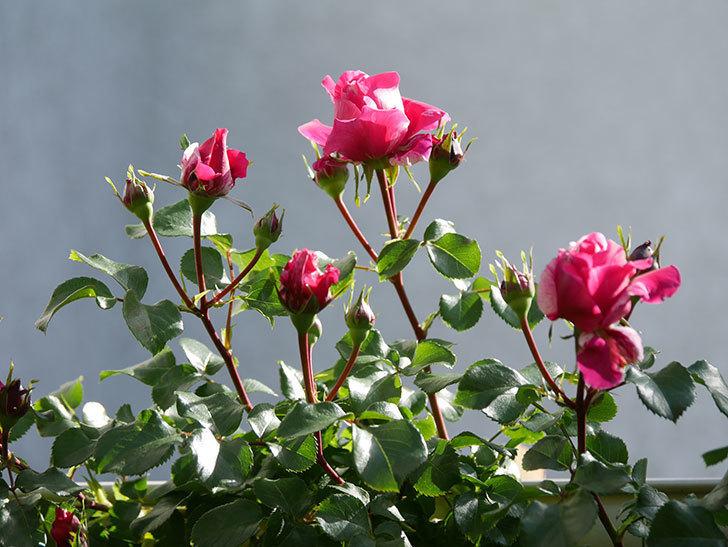 フランボワーズ バニーユ(Framboise Vanille)の花が少し咲いた。2021年-001.jpg