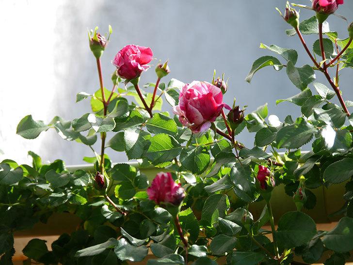フランボワーズ バニーユ(Framboise Vanille)の花が少し咲いた。2021年-002.jpg