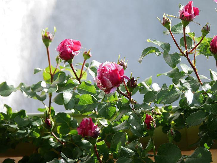 フランボワーズ バニーユ(Framboise Vanille)の花が少し咲いた。2021年-003.jpg