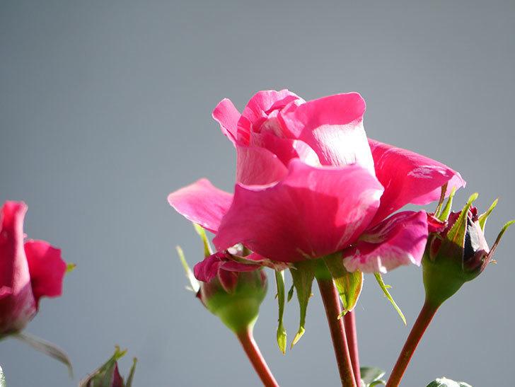 フランボワーズ バニーユ(Framboise Vanille)の花が少し咲いた。2021年-005.jpg
