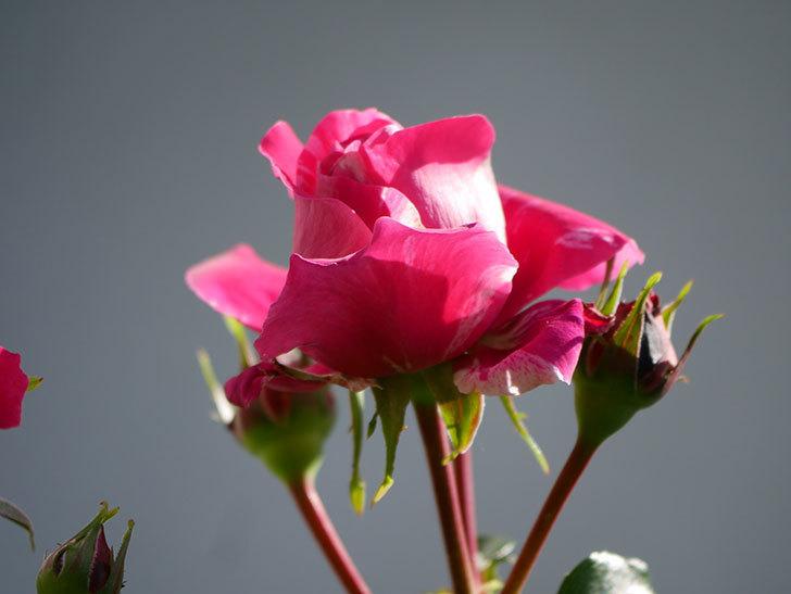 フランボワーズ バニーユ(Framboise Vanille)の花が少し咲いた。2021年-006.jpg