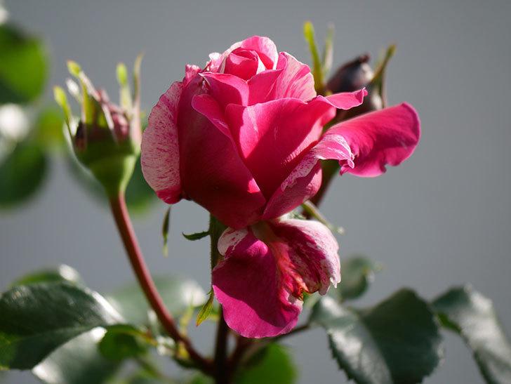 フランボワーズ バニーユ(Framboise Vanille)の花が少し咲いた。2021年-008.jpg