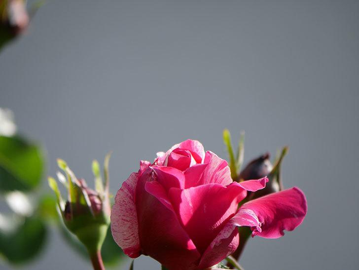 フランボワーズ バニーユ(Framboise Vanille)の花が少し咲いた。2021年-009.jpg
