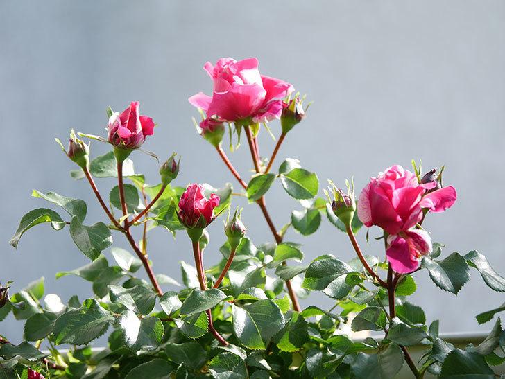 フランボワーズ バニーユ(Framboise Vanille)の花が少し咲いた。2021年-011.jpg