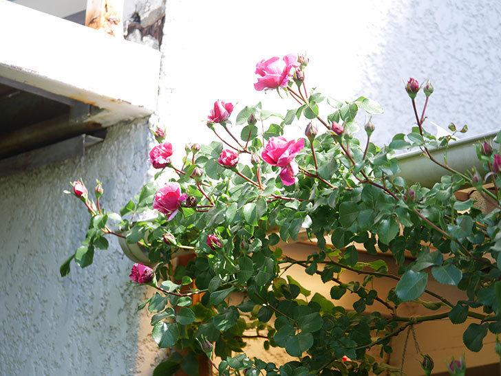 フランボワーズ バニーユ(Framboise Vanille)の花が少し咲いた。2021年-012.jpg