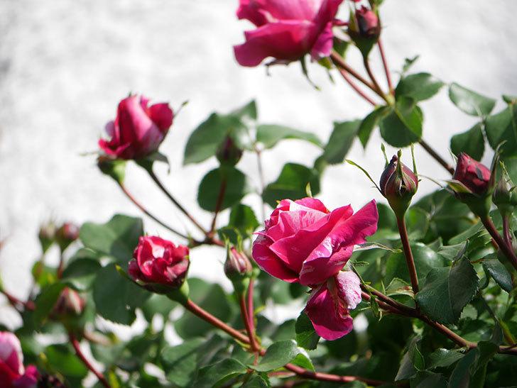 フランボワーズ バニーユ(Framboise Vanille)の花が少し咲いた。2021年-013.jpg