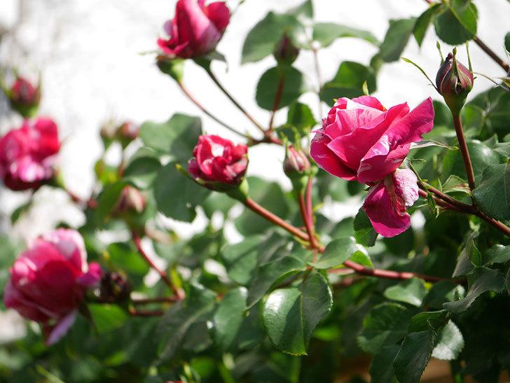 フランボワーズ バニーユ(Framboise Vanille)の花が少し咲いた。2021年-014.jpg