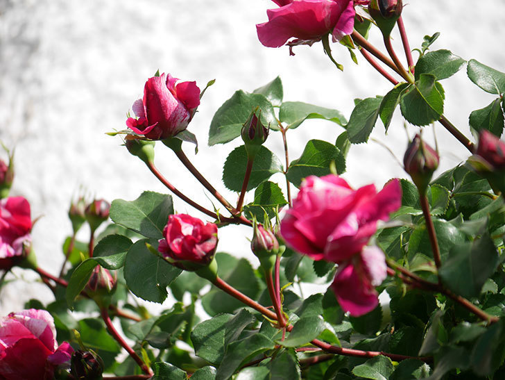 フランボワーズ バニーユ(Framboise Vanille)の花が少し咲いた。2021年-015.jpg
