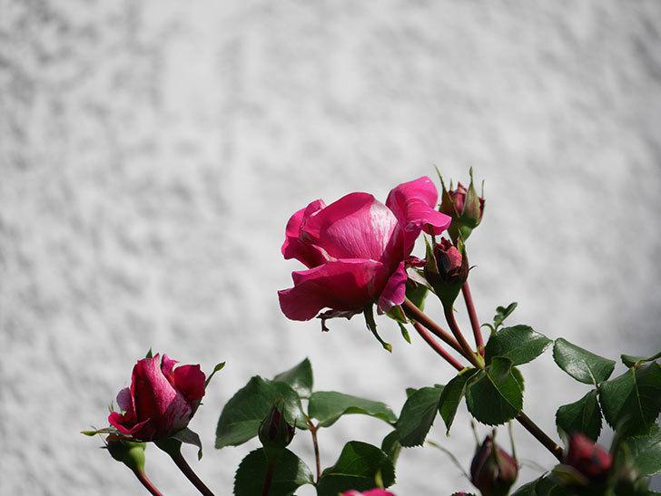 フランボワーズ バニーユ(Framboise Vanille)の花が少し咲いた。2021年-016.jpg