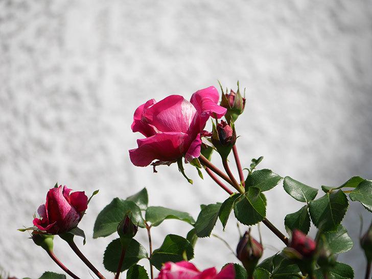 フランボワーズ バニーユ(Framboise Vanille)の花が少し咲いた。2021年-017.jpg