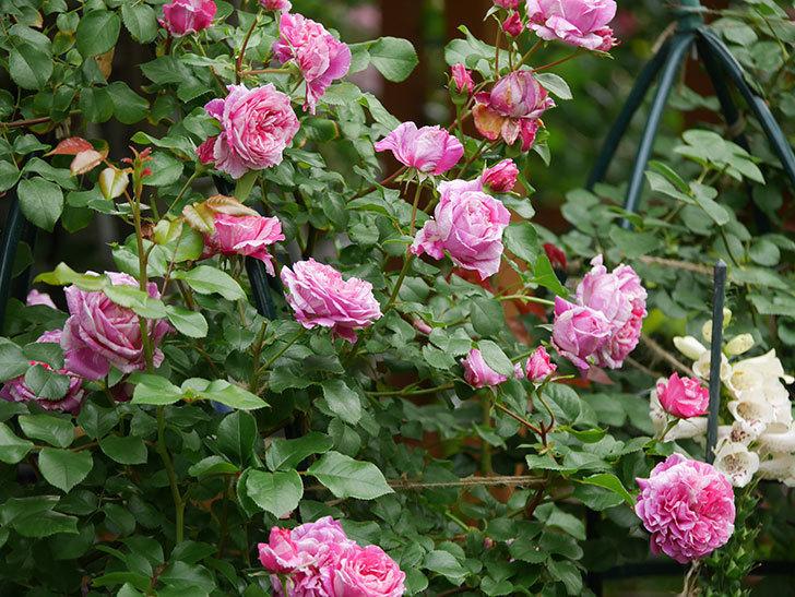 フランボワーズ バニーユ(Framboise Vanille)の花が満開になった。ツルバラ。2020年-001.jpg