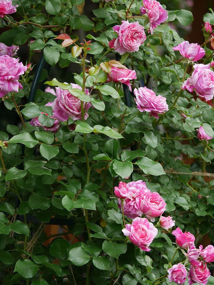 フランボワーズ バニーユ(Framboise Vanille)の花が満開になった。ツルバラ。2020年-003.jpg