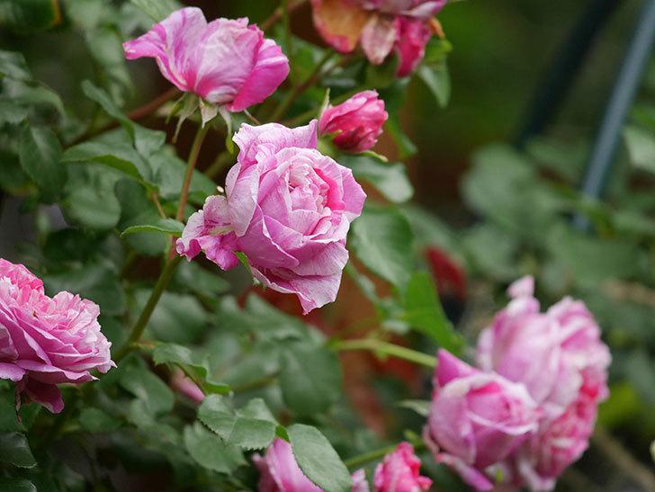 フランボワーズ バニーユ(Framboise Vanille)の花が満開になった。ツルバラ。2020年-004.jpg