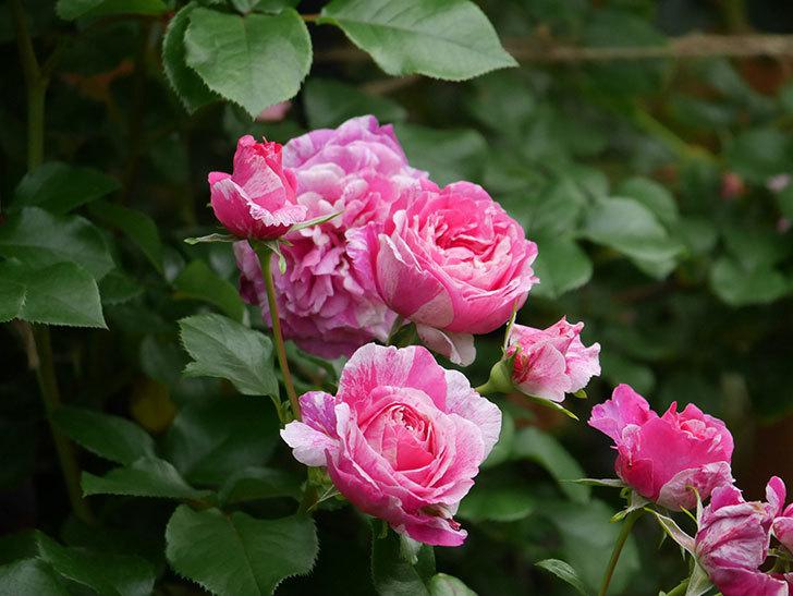 フランボワーズ バニーユ(Framboise Vanille)の花が満開になった。ツルバラ。2020年-005.jpg