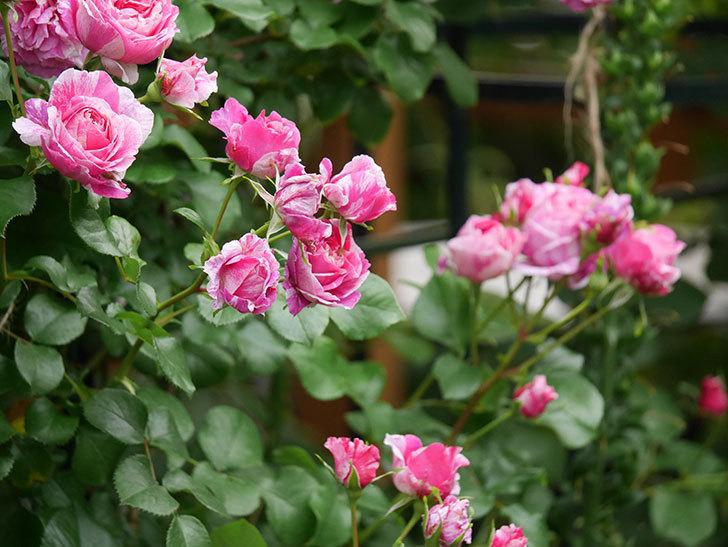 フランボワーズ バニーユ(Framboise Vanille)の花が満開になった。ツルバラ。2020年-006.jpg