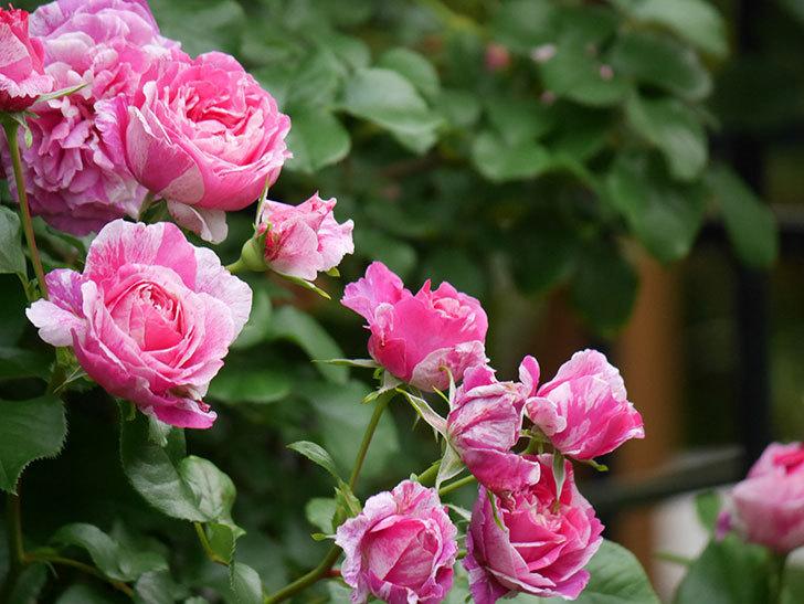 フランボワーズ バニーユ(Framboise Vanille)の花が満開になった。ツルバラ。2020年-007.jpg