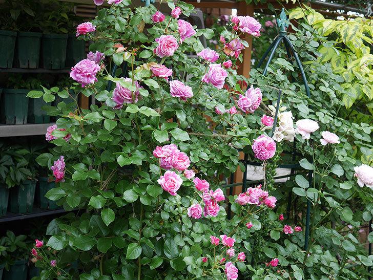 フランボワーズ バニーユ(Framboise Vanille)の花が満開になった。ツルバラ。2020年-008.jpg