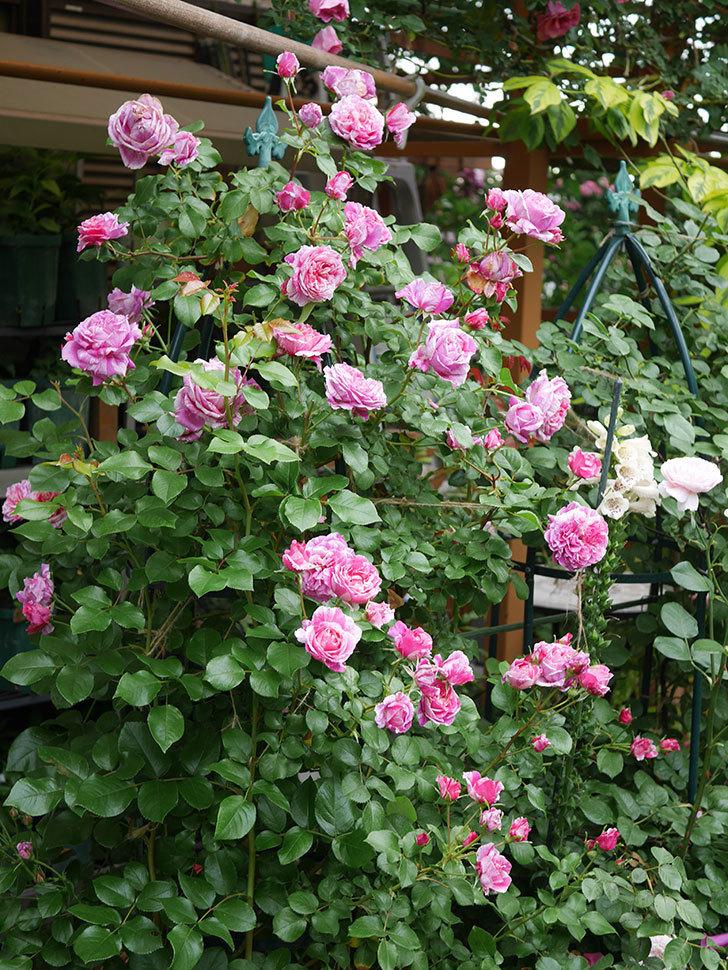 フランボワーズ バニーユ(Framboise Vanille)の花が満開になった。ツルバラ。2020年-009.jpg