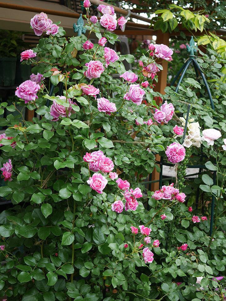 フランボワーズ バニーユ(Framboise Vanille)の花が満開になった。ツルバラ。2020年-010.jpg