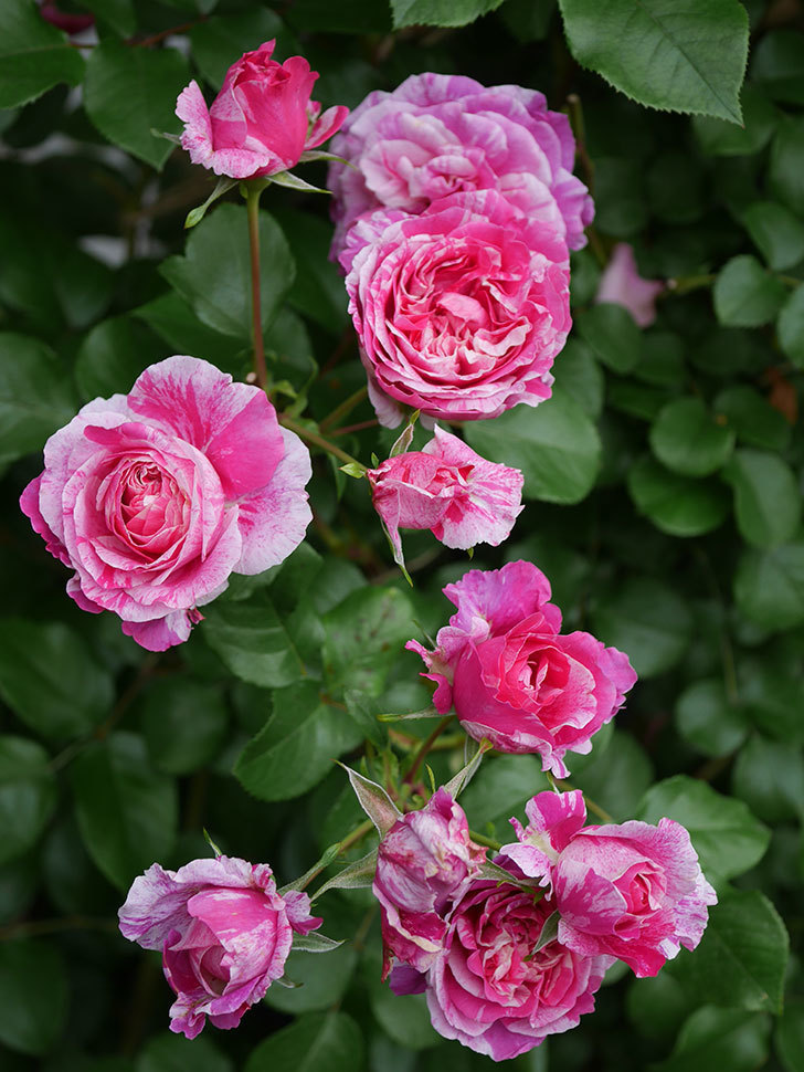 フランボワーズ バニーユ(Framboise Vanille)の花が満開になった。ツルバラ。2020年-011.jpg