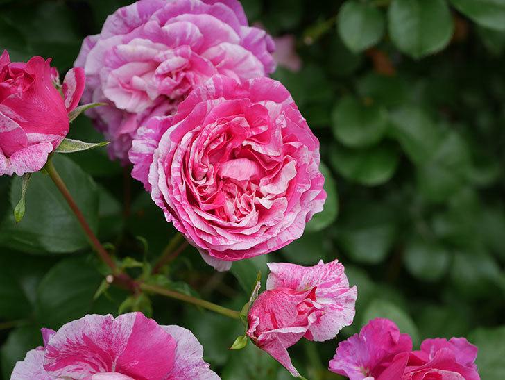 フランボワーズ バニーユ(Framboise Vanille)の花が満開になった。ツルバラ。2020年-012.jpg