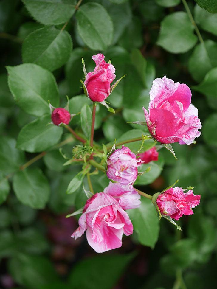 フランボワーズ バニーユ(Framboise Vanille)の花が満開になった。ツルバラ。2020年-013.jpg