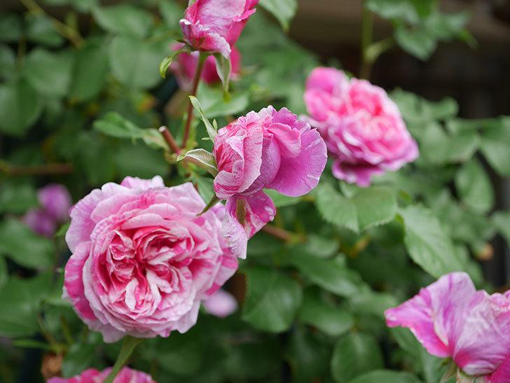 フランボワーズ バニーユ(Framboise Vanille)の花が満開になった。ツルバラ。2020年-014.jpg
