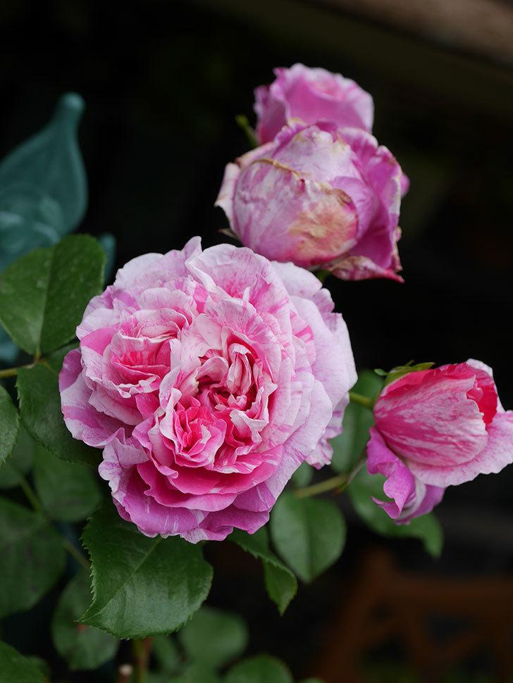 フランボワーズ バニーユ(Framboise Vanille)の花が満開になった。ツルバラ。2020年-015.jpg