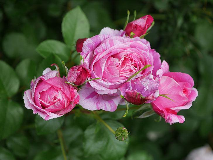 フランボワーズ バニーユ(Framboise Vanille)の花が満開になった。ツルバラ。2020年-016.jpg