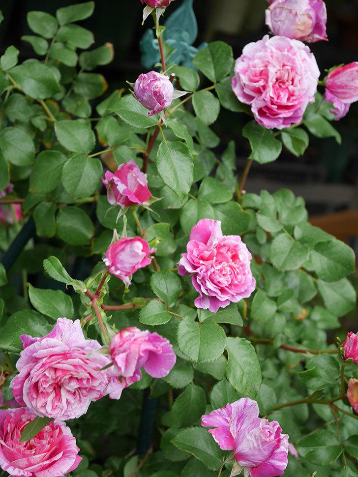 フランボワーズ バニーユ(Framboise Vanille)の花が満開になった。ツルバラ。2020年-017.jpg