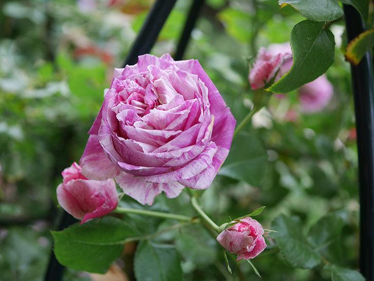 フランボワーズ バニーユ(Framboise Vanille)の花が満開になった。ツルバラ。2020年-018.jpg