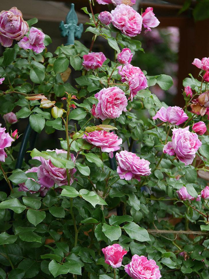 フランボワーズ バニーユ(Framboise Vanille)の花が満開になった。ツルバラ。2020年-020.jpg