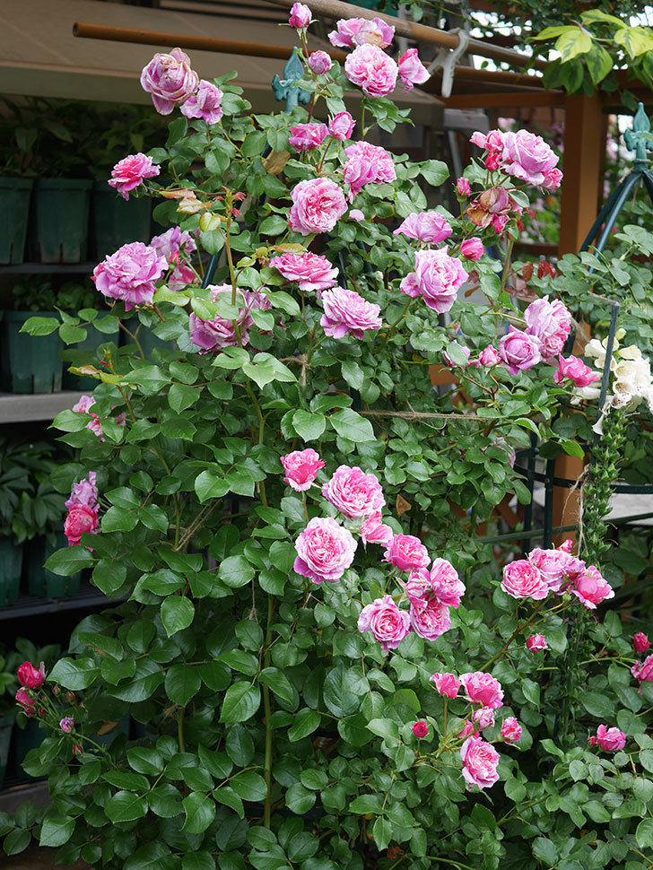 フランボワーズ バニーユ(Framboise Vanille)の花が満開になった。ツルバラ。2020年-021.jpg