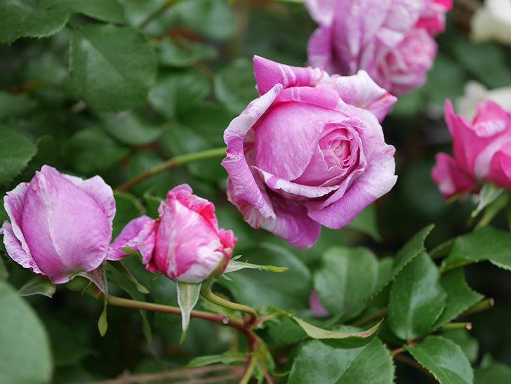 フランボワーズ バニーユ(Framboise Vanille)の花が満開になった。ツルバラ。2020年-023.jpg
