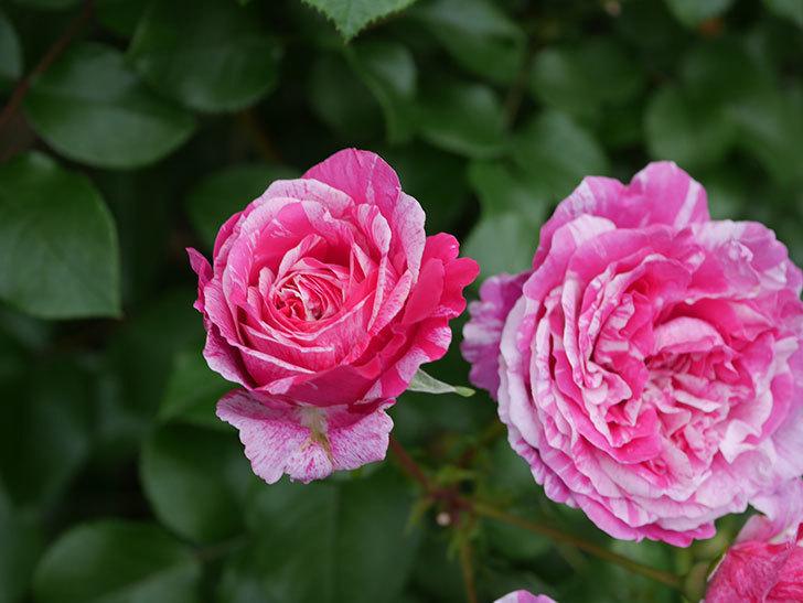 フランボワーズ バニーユ(Framboise Vanille)の花が満開になった。ツルバラ。2020年-024.jpg