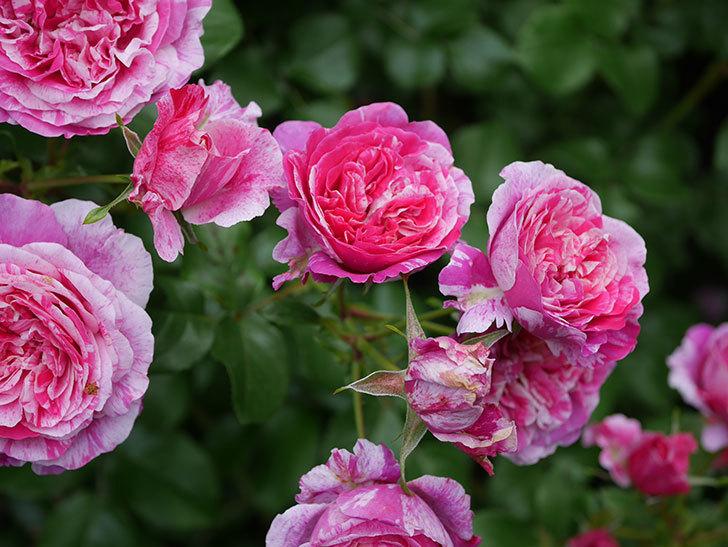 フランボワーズ バニーユ(Framboise Vanille)の花が満開になった。ツルバラ。2020年-025.jpg