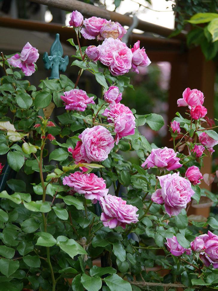 フランボワーズ バニーユ(Framboise Vanille)の花が満開になった。ツルバラ。2020年-026.jpg
