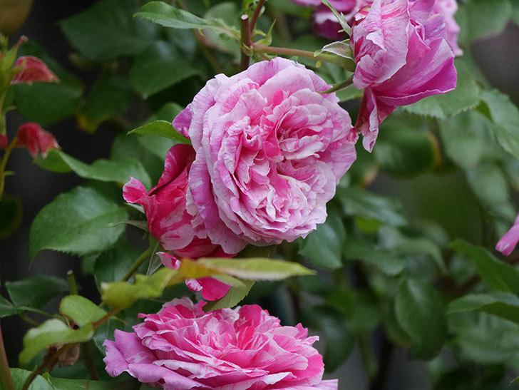 フランボワーズ バニーユ(Framboise Vanille)の花が満開になった。ツルバラ。2020年-028.jpg