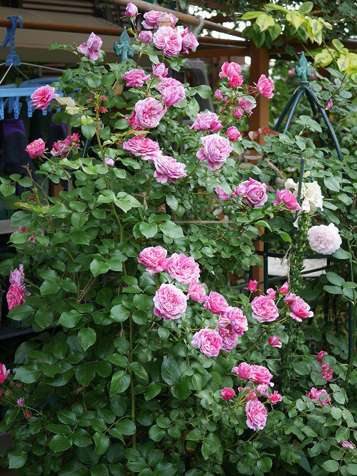 フランボワーズ バニーユ(Framboise Vanille)の花が満開になった。ツルバラ。2020年-029.jpg
