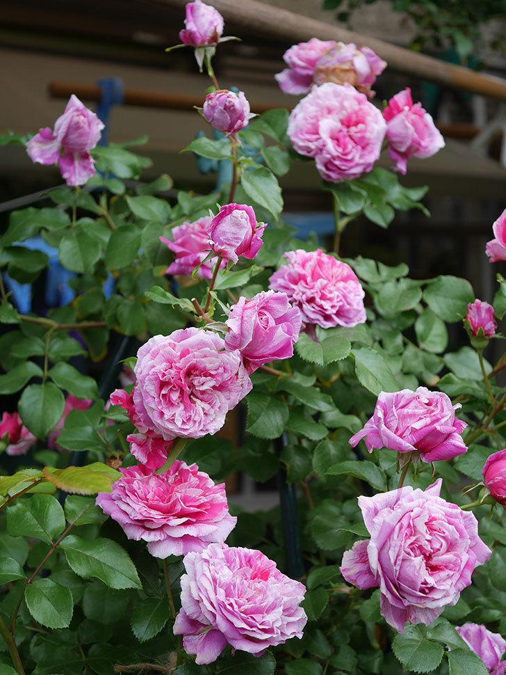 フランボワーズ バニーユ(Framboise Vanille)の花が満開になった。ツルバラ。2020年-030.jpg