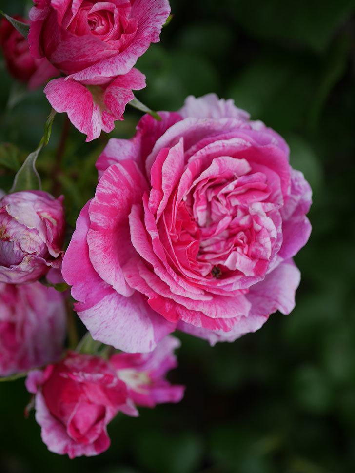 フランボワーズ バニーユ(Framboise Vanille)の花が満開になった。ツルバラ。2020年-032.jpg
