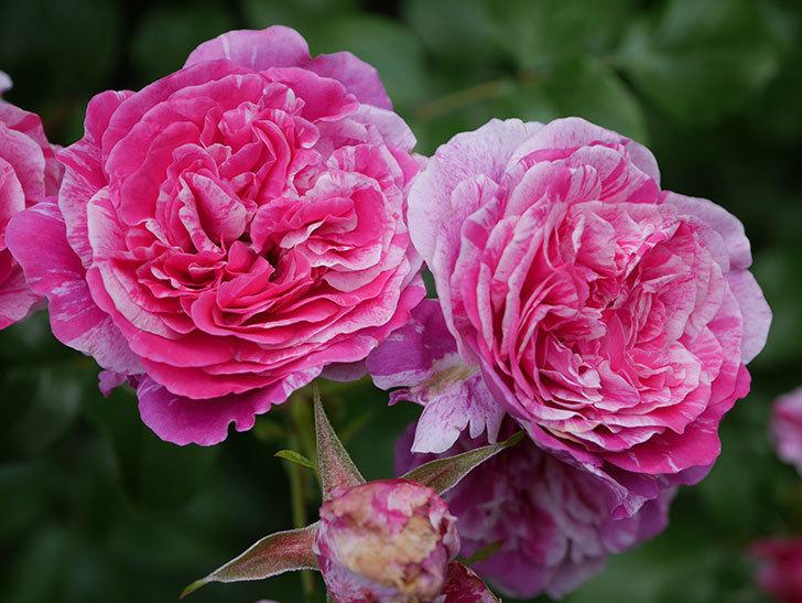 フランボワーズ バニーユ(Framboise Vanille)の花が満開になった。ツルバラ。2020年-033.jpg
