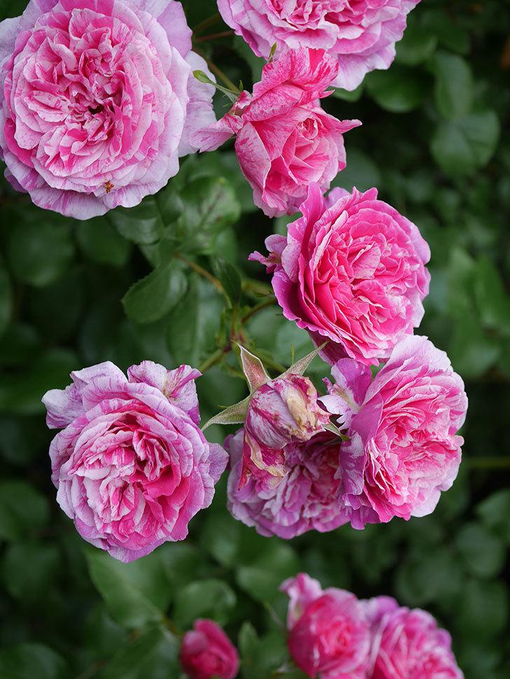 フランボワーズ バニーユ(Framboise Vanille)の花が満開になった。ツルバラ。2020年-034.jpg