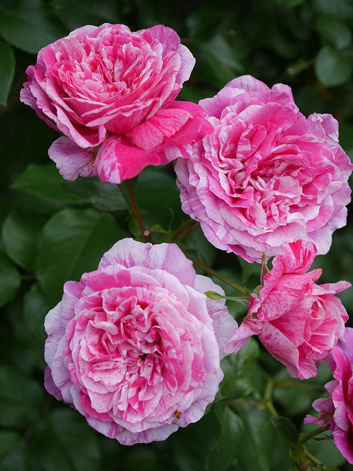 フランボワーズ バニーユ(Framboise Vanille)の花が満開になった。ツルバラ。2020年-035.jpg
