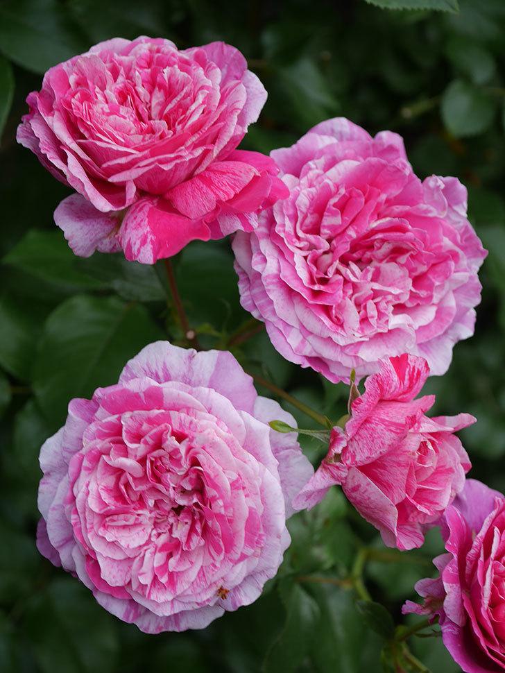 フランボワーズ バニーユ(Framboise Vanille)の花が満開になった。ツルバラ。2020年-036.jpg