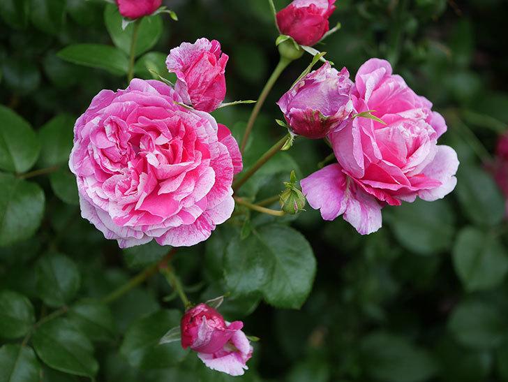 フランボワーズ バニーユ(Framboise Vanille)の花が満開になった。ツルバラ。2020年-037.jpg