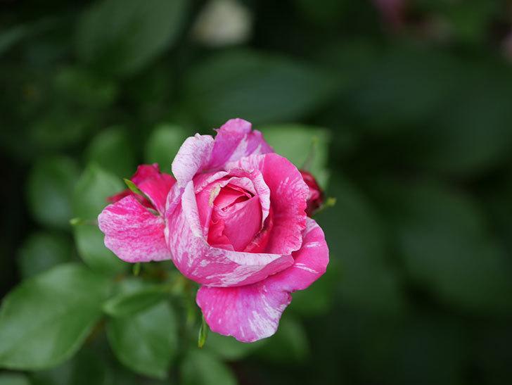 フランボワーズ バニーユ(Framboise Vanille)の花が満開になった。ツルバラ。2020年-038.jpg
